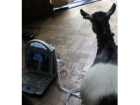 ULTRASOUND FOR GOAT PREGNANCY SCANNING