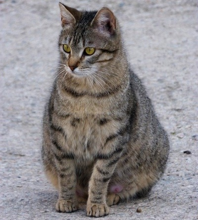 5 signs that your cat is pregnant