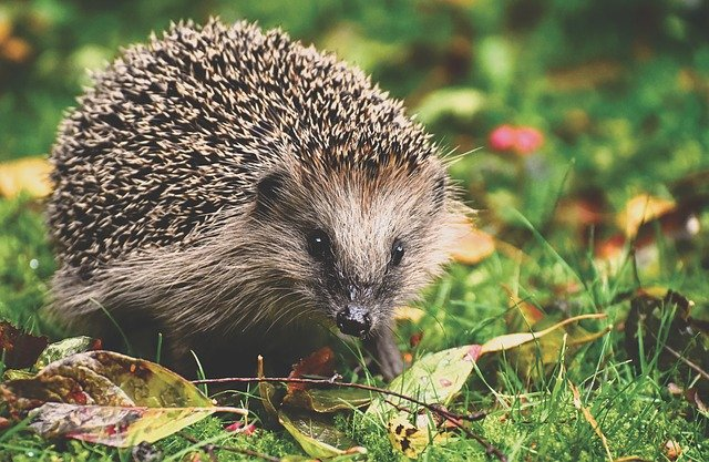 Hedgehogs are vulnerable to extinction - here's how you can help